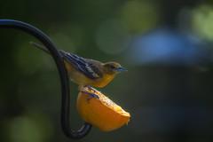 Baltimore Oriole (hey its k) Tags: ca ontario canada nature birds backyard wildlife hamilton tamron baltimoreoriole oriole hfg canon6d img1040e 150600mm