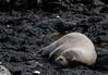 monkseal (~Arles) Tags: seal monkseal hawaii oahu kaenapoint nature animal marine ocean rocks black grey water outside outdoors wildlife sleep sleeping