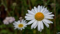 Daisy (Leucanthemum vulgare) (BraCom (Bram)) Tags: white flower holland nature netherlands yellow closeup canon petals dof widescreen nederland natuur depthoffield daisy nl wildflower 169 geel wit ouddorp bloem zuidholland goereeoverflakkee margriet bloemblaadjes southholland canonef24105mm wildebloem bracom canoneos5dmkiii bramvanbroekhoven leucanthemumvulgaire