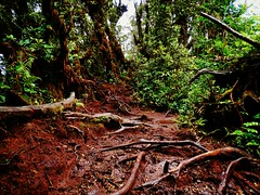 Way To Top Mount IRAU CAMERON HIGHLAND 2110MDPL (thegunznroses1904) Tags: forest track malaysia hikers pahang travellight totop mossyfores travelasrar amateurtobepro azizasrarphoto iraumount