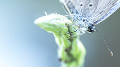 Blue mist (India Unsung) Tags: blue macro nature butterfly photography photo natural photographers photooftheday macroworld tamaron macrome