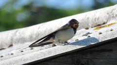 Panting swallow (Rodents rule) Tags: bird scotland highlands swallow hirundorustica eigg