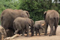 Elephant family (K.Verhulst) Tags: elephant elephants nl safaripark beeksebergen olifant africanelephant olifanten hilvarenbeek safariparkbeeksebergen afrikaanseolifant