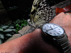 "Time to Watch the Butterflies... (""Just an ol' nature boy takin' a picture"") Tags: butterfly watch mo foliage missouri tropical fujifilm timex branson paperkite thebutterflypalace xs1"