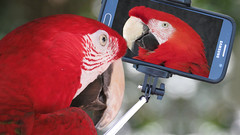 Selfie (Mel's Looking Glass) Tags: red bird funny stick macaw selfie