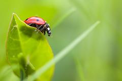 Nouvelle Voisine (F4U1 Corsair) Tags: macro nature canon 100mm insecte verdure coccinelle 50d