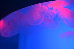 Beautiful but deadly- a cluster of Moon Jellyfish (shankar s.) Tags: canada ontario toronto torontocity lakeontario trainterminus trainterminal railwayterminal aerialview cbd torontofinancialdistrict railwayland formercoachyards ripleysaquariumofcanada fishtank livefish jellyfish seajellies seajelly medusozoa cnidaria backlighting backlit aureliaaurita moonjellyfish moonjellies