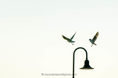 Seagull landing on a stree lamp (Mauro Taraborelli) Tags: morning blue winter italy bird bench harbor streetlight europe streetlamp seagull marche senigallia ancona benchs nikond7000