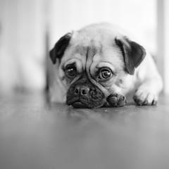 Frug (stephen cosh) Tags: portrait pets film dogs pug ilfordhp5 analogue anilmals 80mmplanar hasselblad205tcc hc110dilutione stephecosh