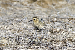 Pacific Golden Plover II (rschnaible) Tags: life wild usa bird hawaii us tour pacific outdoor wildlife sightseeing maui tropical tropics plover