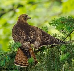 Red-tailed Hawk (orencobirder) Tags: birds flickrexport hawks largebirds