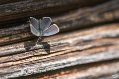 Falter auf Holz (art180) Tags: wood brown animal butterfly grain strip braun falter makro holz tier schmetterling streifen maserung fhler holzmaserung art180 christianmichelbach