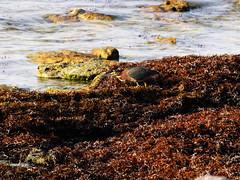 DSCF3467 (loic.renia) Tags: birds vert oiseau guadeloupe antilles hron butorides virescens