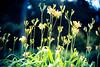 Toward the Sky (moaan) Tags: kobe hyogo japan jp flower flowering flora upward uptothesky cheers hope fullofhope canoneos5dsr ef70200mmf28lisiiusm utata 2016