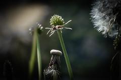 Cuando se va la luz (cmarga28) Tags: naturaleza flores hierba molinillo contraluz oscuro sombras sunset photos photography flower perspective macro cerca creatove mirada imagen color nikon digital raw d750