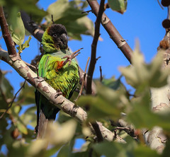 Kiss my toes (pekabo90401) Tags: inceville losliones loslionescanyon nandayconure nanday nandayusnenday naturalizedparrots southerncaliforniabirds birdwatching birdwatchinglosangeles canon camaraderie 80d canon80d lightroom canyonmonkey aratinganendaya blackhoodedparakeet conure cityparrots pacificpalisadesbirds pekabo90401 wesen vogel notsooc monkeytoes