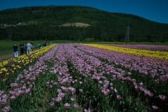 DSC_3733 (Copy) (pandjt) Tags: flowers bc tulip abbotsford tulipfestival abbotsfordtulipfestival