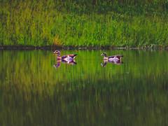 Egyptian Geese (Marc Braner) Tags: green bird nature water beauty birds animal geese duck outdoor ducks tags beaty goose egyptian popular alopochen aegyptiacus 500px ifttt