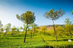 tea estates in Munnar ([s e l v i n]) Tags: india nature tea kerala munnar teaestate tealeaf keralatourism keralatravel picturesofkerala selvin