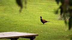 Day 6 18 Logan Botanic Garden pheasant again (bob watt) Tags: uk june canon scotland pheasant 7d 2016 18135mm loganbotanicgarden canoneos7d kirkcudbrightholidayjune2016
