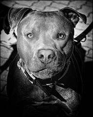 I'm a Good Dog (Steve Lundqvist) Tags: dog pet dogs animal animals cane pitbull perro hund animali animale cani mastino mustiff