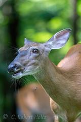 Whitetail Doe (rob.holtz) Tags: doe whitetail
