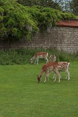 Deer Grazing 3365 (Thorbard) Tags: garden kent wildlife deer fallowdeer statelyhome nationaltrust wisteria deerpark countryhouse stately knole englanduk canonefs1585mmf3556isusm
