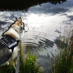 Bodyguard by the river (ameliabeare) Tags: derwent malamute alaskanmalamute