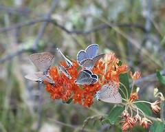 Cluster of Karner Blue Butterfly (USDAgov) Tags: forestry butterflies wildflowers fs ecosystems pollinators greatlakesbasin nationalpollinatorweek huronmanisteenationalforest greatlakesrestorationinitiative
