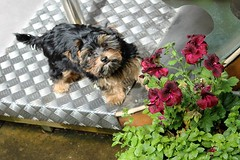 Flo Woodley Yorkie  Poo Puppy (@oakhamuk) Tags: dog puppy yorkiepoo flowoodley