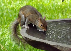 Quenching a thirst! (ChicaD58) Tags: water spring backyard squirrel birdbath critter thirsty hottemperatures feelsmorelikesummer quenchingathirst dscf3855a