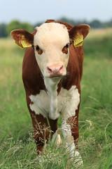 IMG_1397.JPG (beltmg) Tags: cattle hereford calf gert kalf pratensis beltman