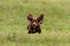 DSC_4193 (TDG-77) Tags: dog pet dogs animal nikon running d750 nikkor f28 flyball chasing 70200mm unleashed vrii