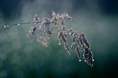 wet grass 2 (Simon[L]) Tags: wet grass bokeh seeds waterdroplets kilfittmakrokilar90mm