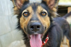 Apache's Nose (vladvizante) Tags: pet dog german sheperd animal nose cute