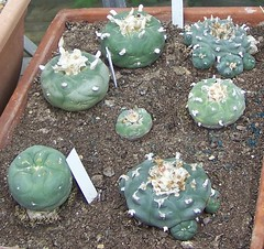 mescal buttons Lophophora sp. (migette2) Tags: lophophora williamsii
