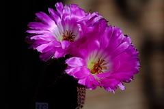 DSCF3214 (manomesa) Tags: cactus flor echinocereus pectinatus