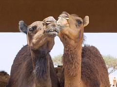 """Give Us a Kiss Love"" (geefcee) Tags: emirates camel abu dhabi"
