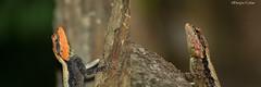 Face Off (Deepu Cyriac) Tags: nature wildlife kerala lizard reptiles westernghats munnar agama chinnar rockagama indianforest chinnarwildlifesanctuary chinnarwls peninsularrockagama