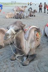 camel (sootix) Tags: sand camelride bactriancamel
