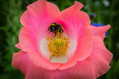 Bumblebee in a pink papaver (Fredde Nilsson) Tags: pink flower holland netherlands yellow insect flying wings thenetherlands bee bumblebee poppy nectar nl pollen flevoland papaver papaveraceae 2016 biddinghuizen