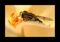Hoverfly sitting inside a rose (Annette Rumbelow) Tags: hoverfly bug wings colour sony camera macro macroflower rose dof handheldcamera small tiny pollen sonya550camera