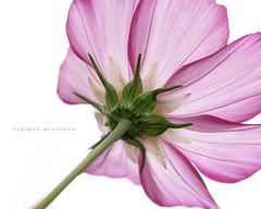 Pink! (deborahmoynihan) Tags: pink petal highkey macro closeup flower flowers fantasticflower flowersfineart contrast stem green blossom flora plant nationalbotanicgardens tamron90mmf28macro nikond7200