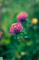 Impact of colors (Double.D - Photography) Tags: plant flower colors canon outside colours blossom outdoor pflanze wiese sigma filter 28 blume blte schwarzwald blackforest farben belchen tiefenschrfe doubled 1750mm canon600d
