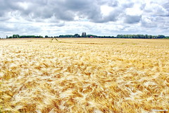 Getreidefeld (garzer06) Tags: getreidefeld getreide wolken himmel wolkenhimmel inselrügen deutschland insel mecklenburgvorpommern rügen vorpommern gelb blau grün landschaftsbild naturephotography naturphoto landschaftsphotography landscapephotography natur naturfotografie landschaftsfoto