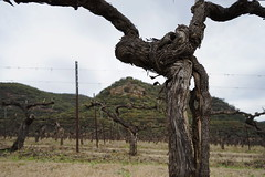 a hard life, old Shiraz vines (Blue Mtns. bush girl) Tags: huntervalley old vines shiraz kester keith tulloch wine foundation members day
