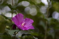 Hibiscus syriacus (Jim Mayes) Tags: canon eos digital 90mm macro tamron tamronspaf90mmf28dimacro