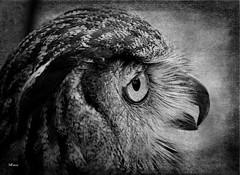 Owl (MEaves) Tags: owl bird avian predator raptor nature bw monochrome blackandwhite