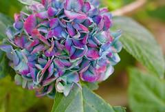 Friends Garden Coffs (jimbooliver) Tags: coffsharbour garden flower macro