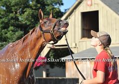 Sandiva clowns around in the morning at the Fletcher barn (Rock and Racehorses) Tags: websandivaska7949sarahandrew ny thoroughbred racehorse saratoga nyra sandiva flehmen
